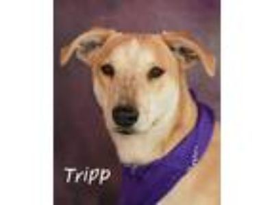 Adopt Tripp a Cattle Dog, Dachshund