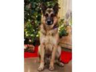 Adopt Zeus a Black German Shepherd Dog / Mixed dog in Waco, TX (22199723)