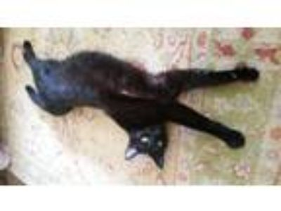 Adopt Giy Noir a American Shorthair