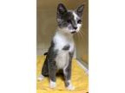 Adopt Martin a Gray or Blue (Mostly) Domestic Shorthair (short coat) cat in