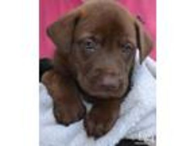 Adopt Rose a Labrador Retriever, Shepherd