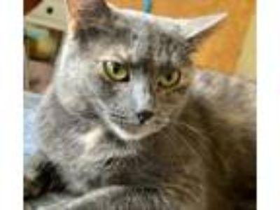 Adopt Demmi a Domestic Mediumhair / Mixed (short coat) cat in Valley Park