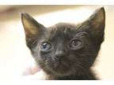 Adopt Razzle a All Black Domestic Shorthair / Domestic Shorthair / Mixed cat in