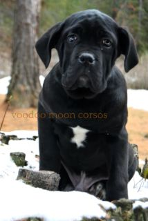 BIG PUPPY! International CH Sired Cane Corso