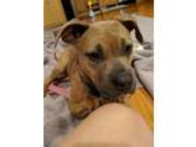 Adopt Roo a Pit Bull Terrier, Boxer