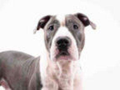 Adopt TOY a Gray/Silver/Salt & Pepper - with White American Pit Bull Terrier /