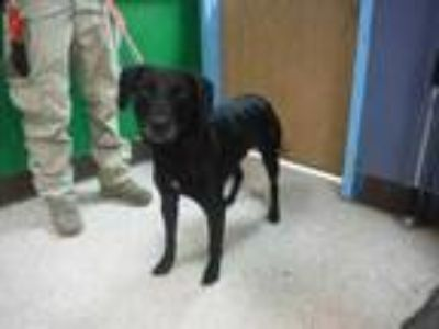 Adopt Short Stop a Black Retriever (Unknown Type) / Mixed dog in Pasco