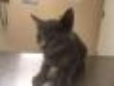 Tilly 1281-18 Domestic Short Hair Cat