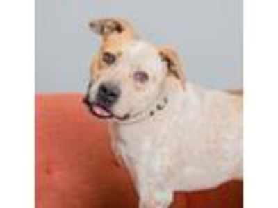 Adopt Troy a Pit Bull Terrier, Cattle Dog
