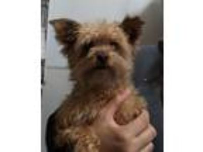 Adopt 19-06-1845 Lexi a Yorkshire Terrier