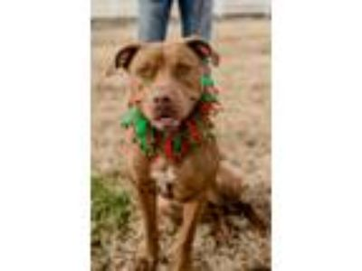 Adopt Autumn a Staffordshire Bull Terrier, Mixed Breed