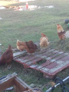Rhode Island Red Laying Hens