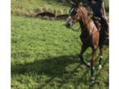 6 year old Appendix mare
