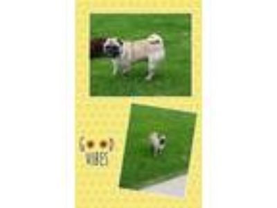 Adopt Earl a Tan/Yellow/Fawn - with Black Pug / Mixed dog in Genoa City