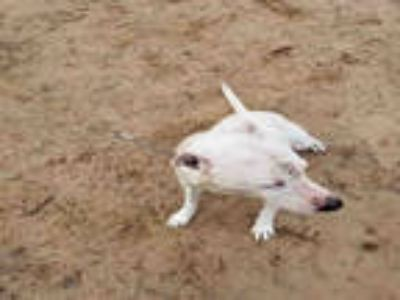 Adopt BONES a White American Pit Bull Terrier / Mixed dog in San Antonio