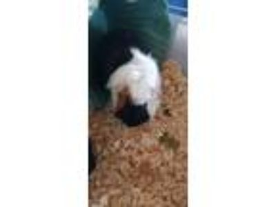 Adopt Snickers a Multi Guinea Pig (long coat) small animal in Olivet