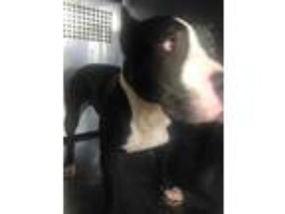 Adopt 41839801 a Black American Pit Bull Terrier / Mixed dog in Fort Worth