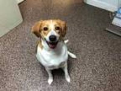 Adopt Sally a Red/Golden/Orange/Chestnut Hound (Unknown Type) / Mixed dog in