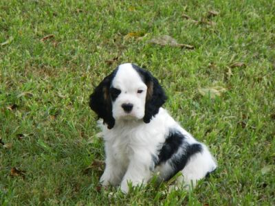 Cocker Spaniel PUPPY FOR SALE ADN-84564 - AKC GRAND CHAMPION SIRED COCKER SPANIELS