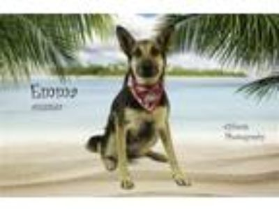 Adopt Dog a German Shepherd Dog, Mixed Breed