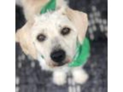 Adopt Falkor a White Terrier (Unknown Type, Small) / Mixed dog in Itasca