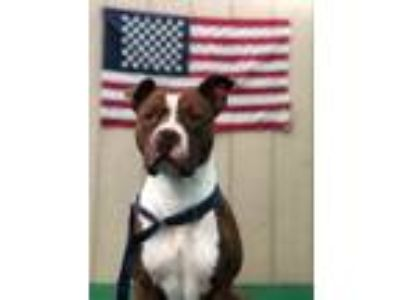Adopt Pink a Pit Bull Terrier, Boxer