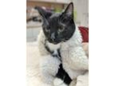 Adopt Sox a Black & White or Tuxedo Domestic Shorthair / Mixed cat in Raleigh