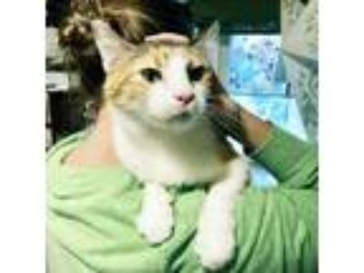 Adopt Calligator a American Shorthair / Mixed cat in Austin, TX (23789445)