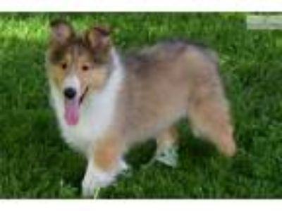 Beautiful Collie Female Lanna
