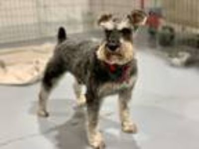 Adopt Dougie a Black - with Gray or Silver Miniature Schnauzer / Mixed dog in