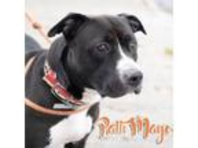 Adopt Patti Mayo a Pit Bull Terrier
