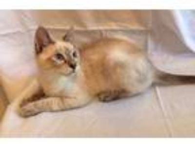 Adopt STRUDEL a White (Mostly) Siamese / Mixed (short coat) cat in West Palm