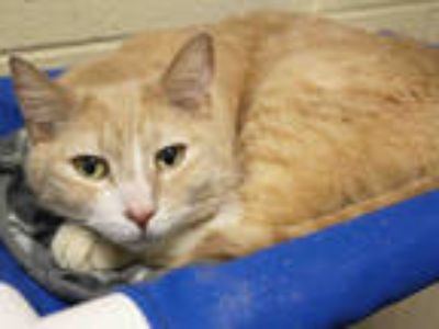Adopt *FELIX a Orange or Red (Mostly) Domestic Shorthair / Mixed (short coat)
