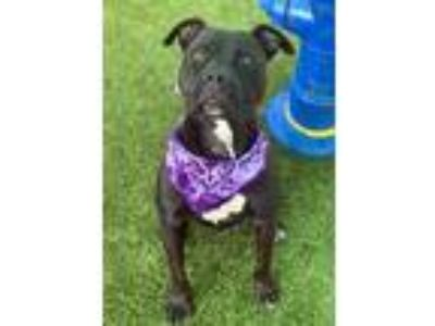 Adopt Bethany a Black American Pit Bull Terrier / Mixed dog in Jacksonville