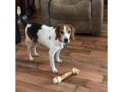Adopt Reeses (Peanut Butter Cup) a Brown/Chocolate Beagle dog in Pendleton