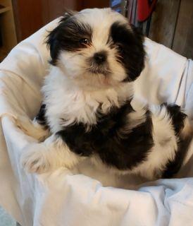 Shih Tzu PUPPY FOR SALE ADN-113465 - Shih Tzu puppies