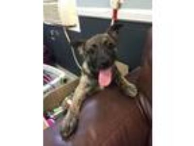 Adopt Asher a Black - with Gray or Silver Australian Shepherd / Mixed Breed