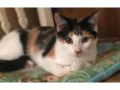 Adopt Honey a Calico or Dilute Calico Calico / Mixed (short coat) cat in