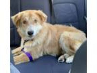 Adopt Erik a Golden Retriever, Mixed Breed