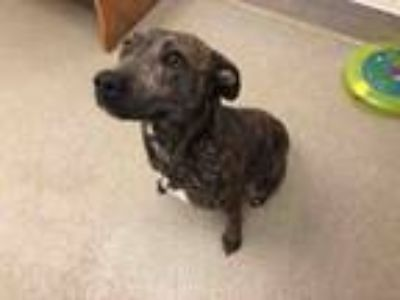 Adopt WINNIE THE POOCH a Feist, Mixed Breed