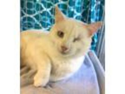 Adopt Casper Kitty one eyed a Domestic Short Hair