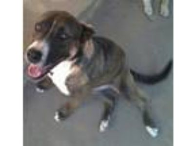 Adopt Maximus a White - with Brown or Chocolate Bull Terrier / German Shepherd