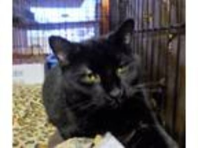 Adopt Lunch Box a Domestic Short Hair