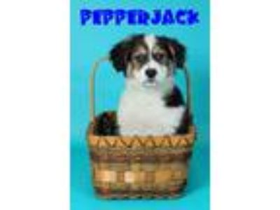 Adopt PepperJack a Corgi, Collie