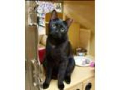 Adopt Diego a All Black Domestic Shorthair / Mixed (short coat) cat in Flushing
