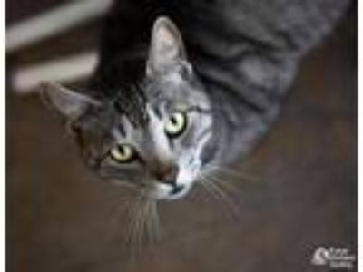 Adopt Huck a Domestic Short Hair