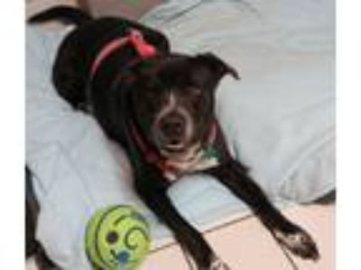 Adopt Tyson a Black - with White Labrador Retriever / Mixed dog in Forked River