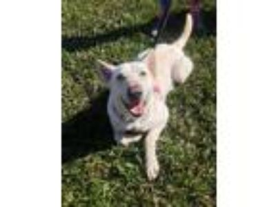Adopt Luna a White Siberian Husky / German Shepherd Dog / Mixed dog in Jupiter