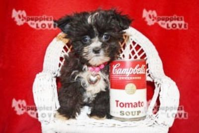 Poodle (Toy)-Shih Tzu Mix PUPPY FOR SALE ADN-102378 - MICRO TCUP SHIHPOO