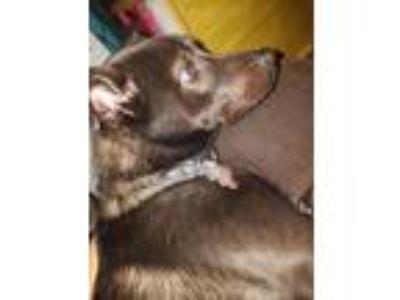 Adopt Drako a Black Labrador Retriever / German Shepherd Dog dog in Hyattsville